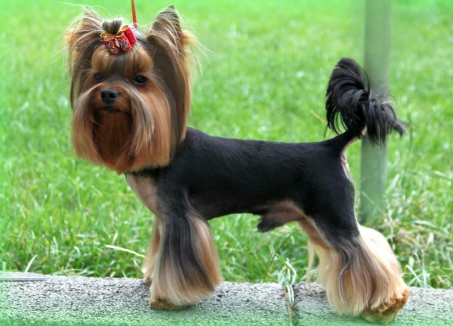 Декоративные собаки и все про них