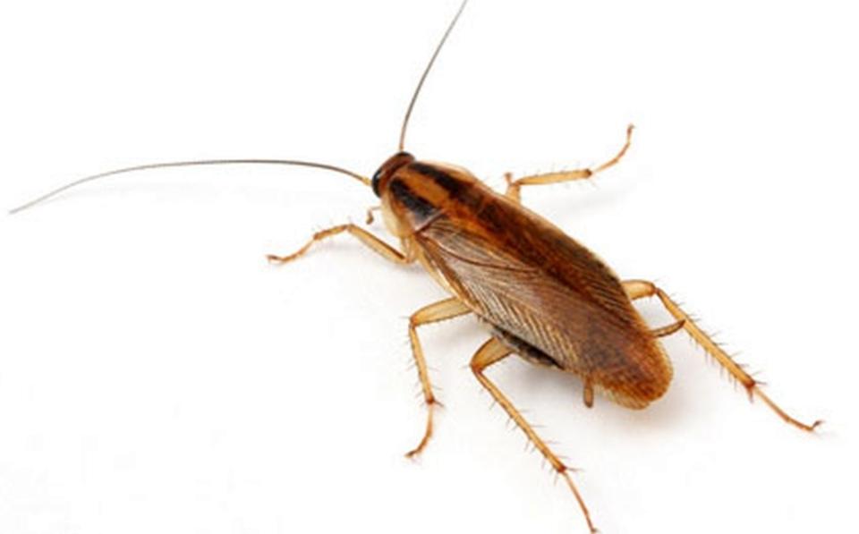 Как уничтожить тараканов?